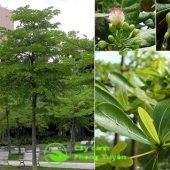 Đặc điểm của cây bàng đài loan