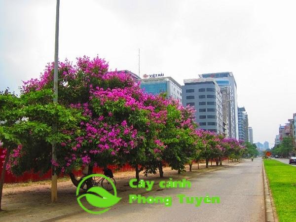 Cây bằng lăng tím trồng đẹp đường phố