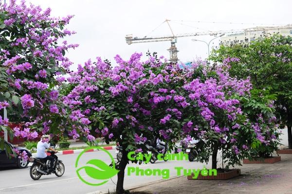 Cây bằng lăng trồng trang trí cảnh quan đô thị