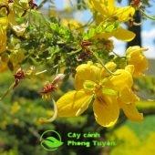 Chăm sóc cây lim xẹt sống tốt ra hoa