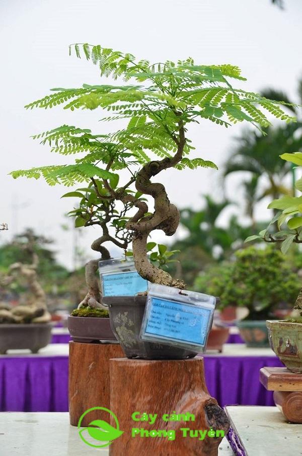 Cây phượng vĩ bonsai