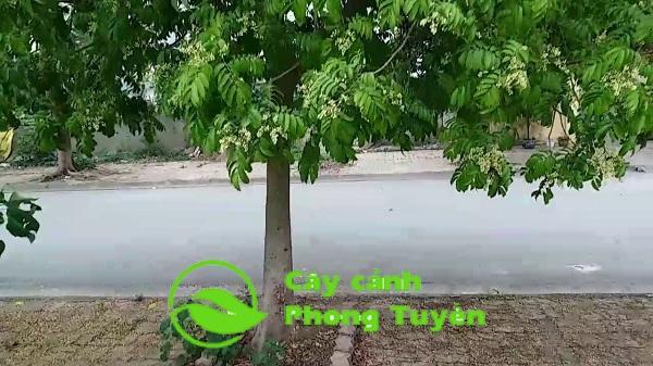cây sấu trồng trên vỉa hè