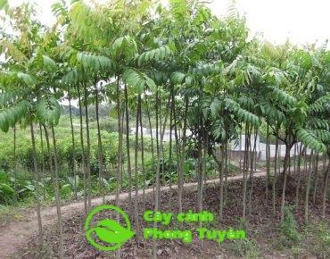 Chăm sóc cây sấu sau khi trồng
