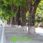Hàng cây xà cừ được trồng lâu năm