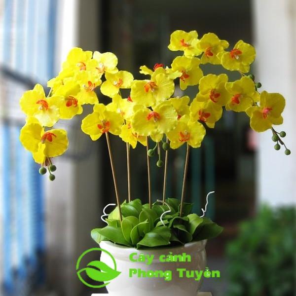 Mua hoa hồ điệp vàng ở đâu hà nội