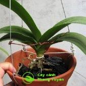 Chăm sóc cây lan hồ điệp trồng bằng than củi